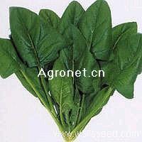 供应尤巴绿—菠菜种子