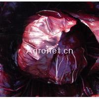 供应结球型菊苣—莴苣种子