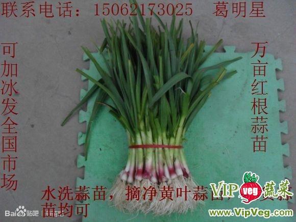 江苏徐州沛县_供应万亩红根蒜苗,蒜苔,蒜头图片