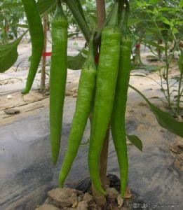 供应杭椒、线椒、眉豆