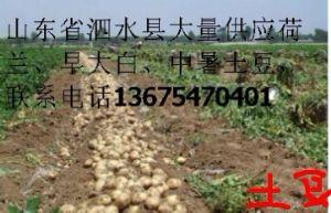 供应新鲜土豆