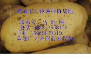 供應馬鈴薯