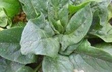 供应菠菜--热风