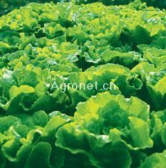 供应全年耐抽苔生菜—莴苣种子