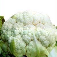 供应白马王子50天—花椰菜种子