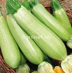 供应盛绿西葫芦—西葫芦种子