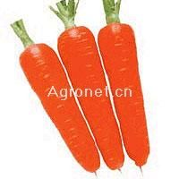 供应冬辉五寸—胡萝卜种子