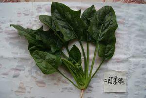 供应二圆墨绿—菠菜种子