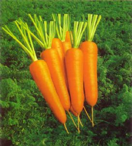 供应日本黑田五寸胡萝卜—胡萝卜种子