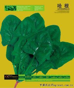 供应哈根—菠菜种子