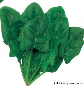 供应大叶菠菜—菠菜种子