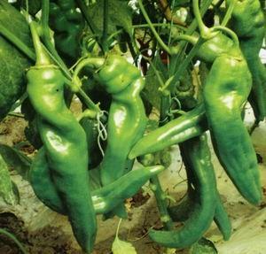 辣椒种子--雄风 - 青岛俊丰菜种有限公司 -《vip蔬菜