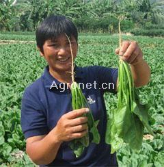 供应速必得速生菠菜—菠菜种子