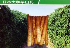 供应大和芋山药种苗—山药种子