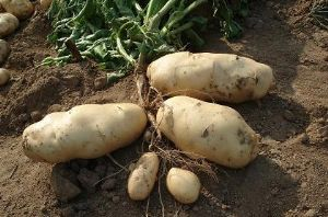 供应有机种植马铃薯