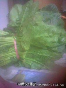 供应早春菠菜