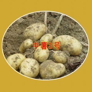 供应中薯3号—马铃薯种子