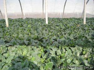 供应皇家巨星——菠菜种子