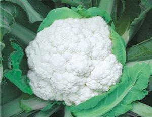 供应天瑞75F1——花椰菜种子