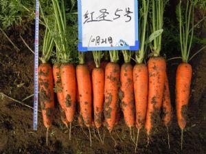 供应红圣五号—胡萝卜种子