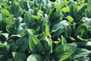 无公害蔬菜——菠菜