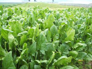 供应菠菜—叶菜类