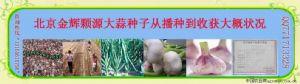 供应大蒜种子