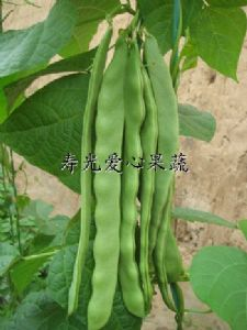 供应寿光礼品菜——芸豆