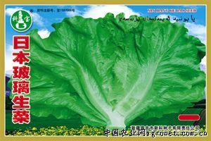 供应日本玻璃生菜—生菜种子