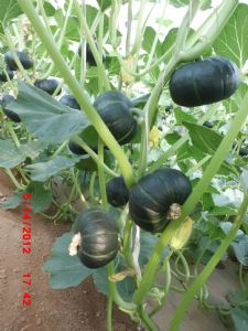 供应迷你二号—南瓜种子