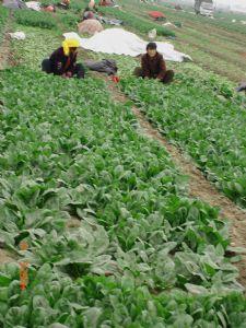 供应抗病夏宝—耐热菠菜种子