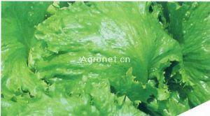 供应玉湖——生菜种子