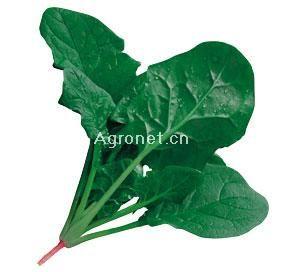 供应绿松—菠菜种子