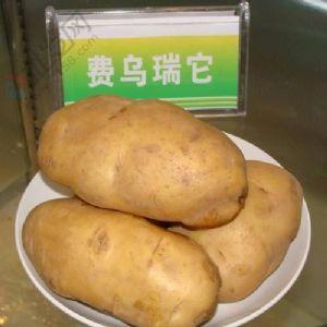 供应费乌瑞它—马铃薯种薯