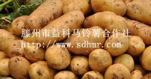 供应荷兰十五号—土豆种子