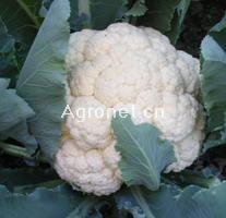 供应白山55—花椰菜种子