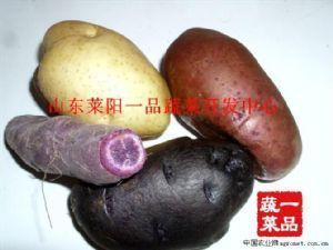 供应黑金刚黑土豆种薯