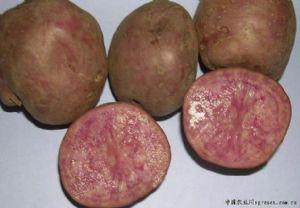供应红土豆—马铃薯种子
