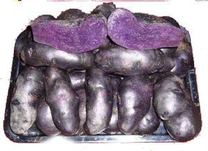 马铃薯种子——黑美人土豆