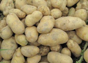 供应土豆种子