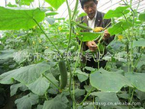 供应绿色蔬菜、绿色礼品蔬菜