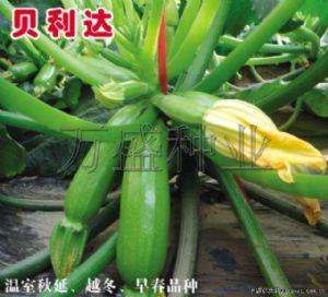 供应贝利达--西葫芦种子(温室越冬、早春品种)