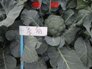 yabo80秀丽F1—青花菜种子