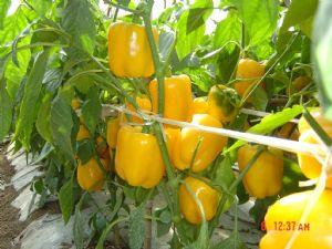 供应爱丽丝黄皮甜椒—甜椒种子