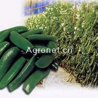 供应白花—豌豆种子