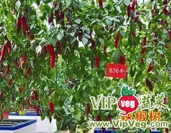 供应辣椒树种子