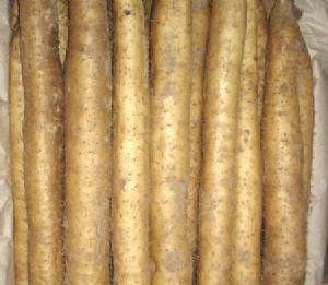 供应日本大和芋—山药种子