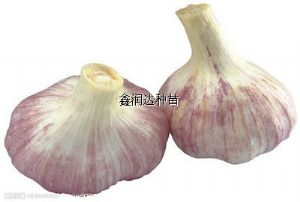供应国蒜二号—蒜、蒜薹种子