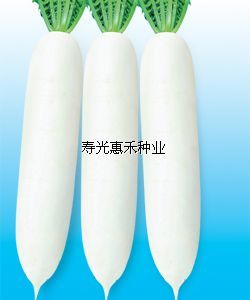 供应日本亮剑F1-杂交白萝卜种子