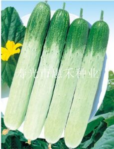 供应全能春秋f1—无刺小黄瓜种子